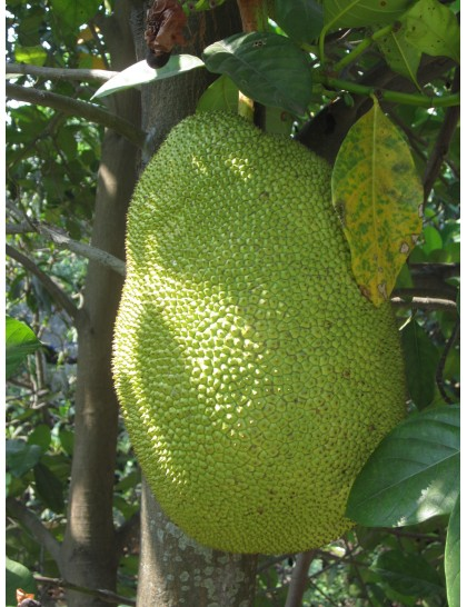 Jack fruit white meat
