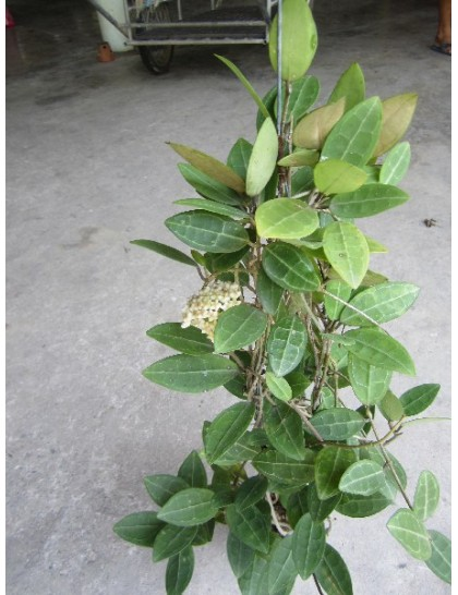 Hoya elliptica ( Large )