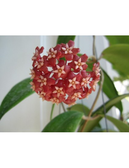 Hoya illagiorum ( Large )