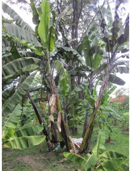 Musa balbisiana 'Thai Black'
