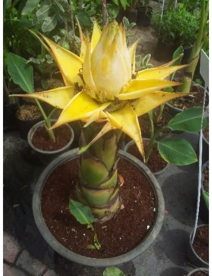 Musella lasiocarpa (Golden Lotus banana)