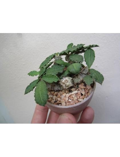 Euphorbia decaryi Var. Decaryi