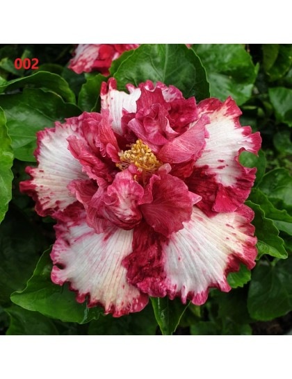 Hibiscus giant flowering grafted hybrids (002)