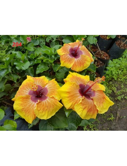 Hibiscus giant flowering grafted hybrids (0204)