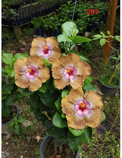 Hibiscus giant flowering grafted hybrids (00207)