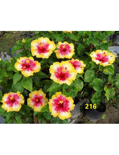 Hibiscus giant flowering grafted hybrids (216)
