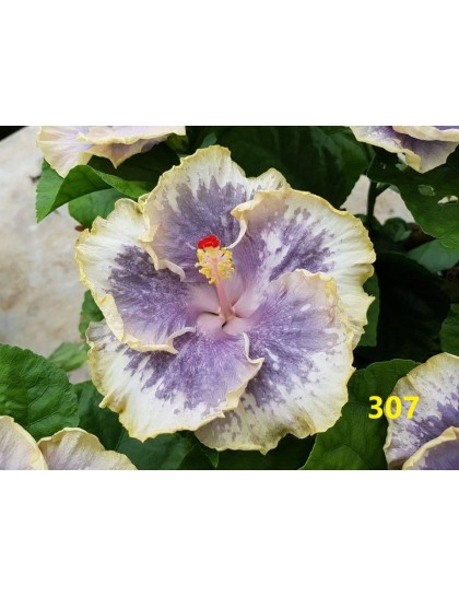 Hibiscus giant flowering grafted hybrids (307)