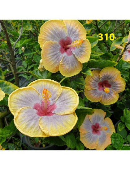 Hibiscus giant flowering grafted hybrids (310)
