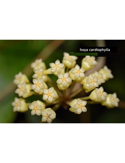 Hoya cardiophylla ( rooted cutting )