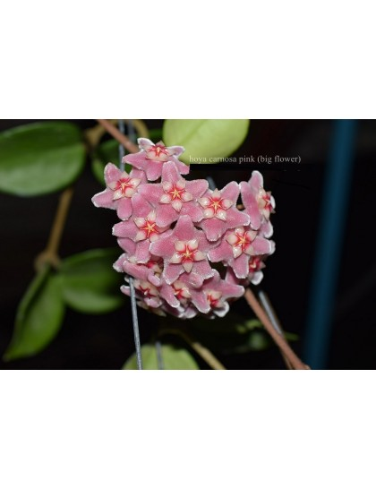 Hoya carnosa pink big flower ( rooted cutting )