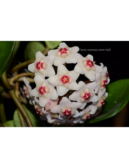Hoya carnosa snowball ( rooted cutting )