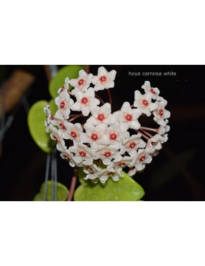 Hoya carnosa white ( rooted cutting )