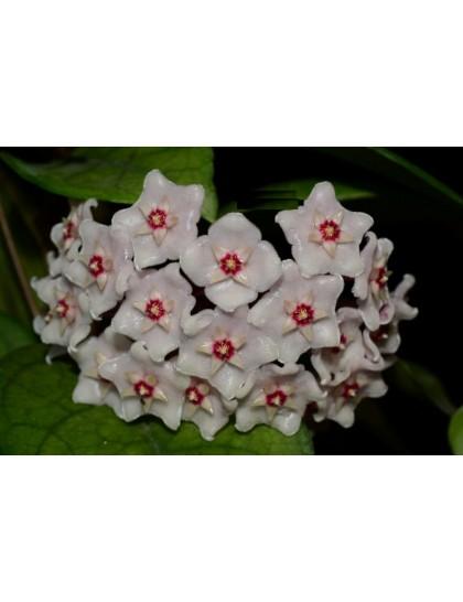 Hoya fungii ( rooted cutting )