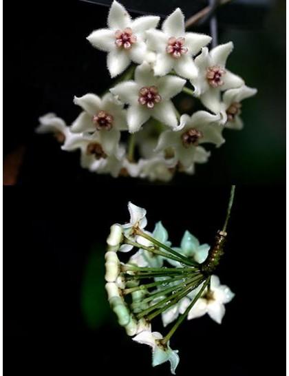 Hoya graveolens ( rooted cutting )