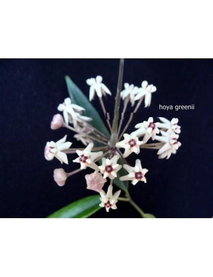 Hoya greenii ( rooted cutting )