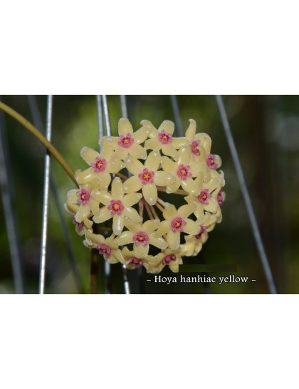 Hoya hanhiae yellow ( rooted cutting )