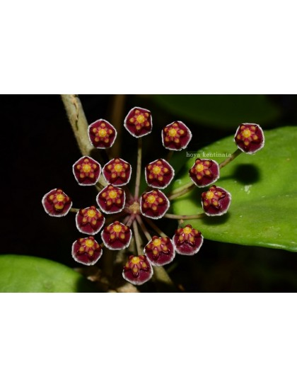 Hoya kentinata ( rooted cutting )
