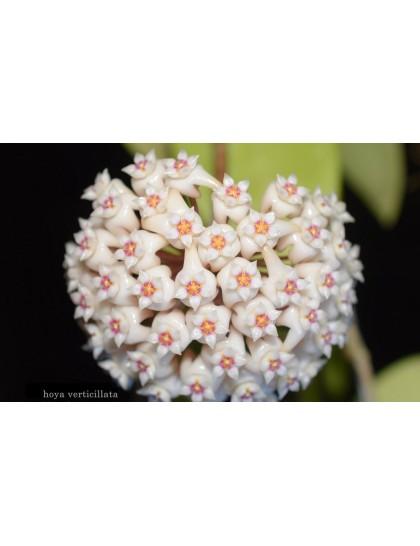 Hoya verticillata ( rooted cutting )