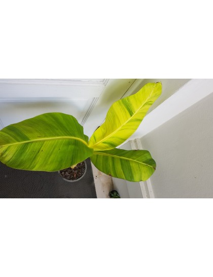 Musa Yellow leaf variegated