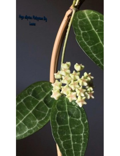 Hoya elliptica philippines big leaves  ( rooted cutting )