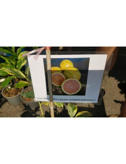 Citrus Eureka variegated PINK lemon