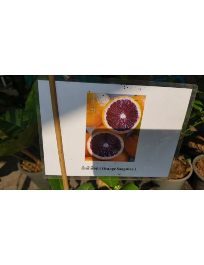 Citrus Orange sanguine