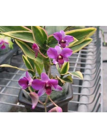 Dendrobium phalaenopsis mini variegated