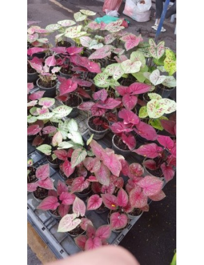 Caladium mixed tubers (Pack of 5 tubers)