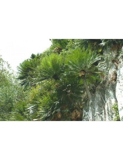 Cycas clivicola SEEDS