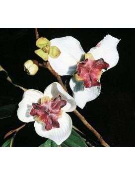 Mitrephora sirikitiae