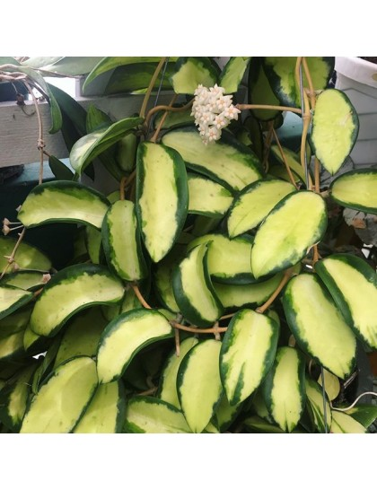 Hoya acuta variegata ( rooted cutting )