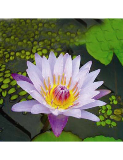 Nymphaea August Koch