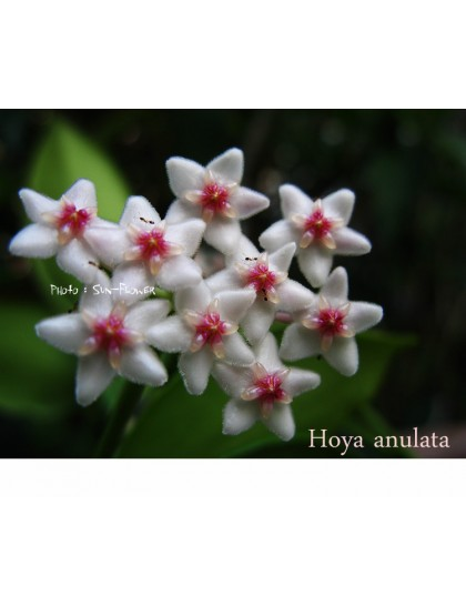 Hoya anulata ( rooted cutting )