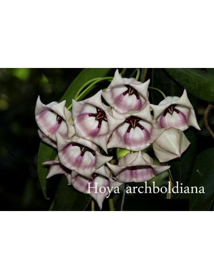 Hoya archiboldiana white ( rooted cutting )