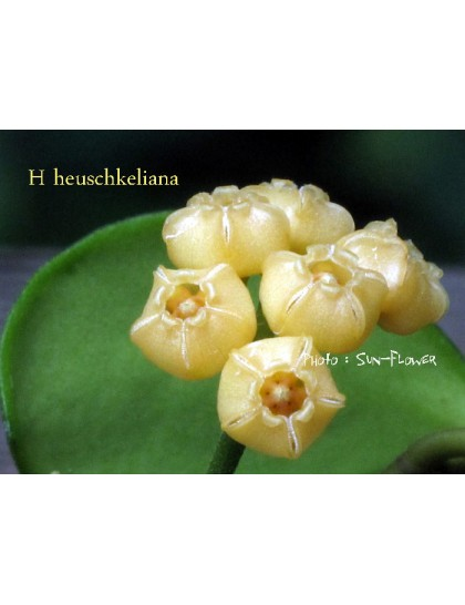 Hoya heuschkeliana yellow ( rooted cutting )