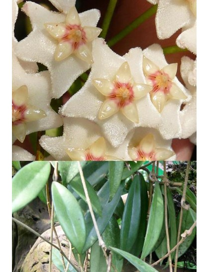 Hoya oreogena ( rooted cutting )