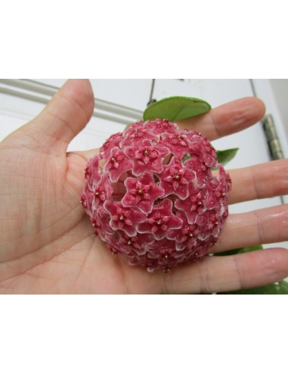 Hoya carnosa red ( rooted cutting )