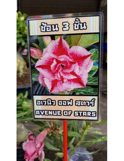 Adenium Avenue of Stars