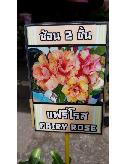 Adenium Fairy rose