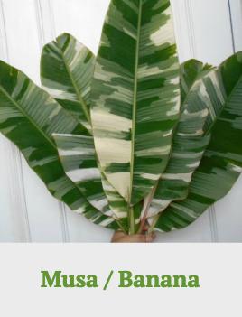 Musa/Banana