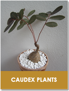 Caudex Plants