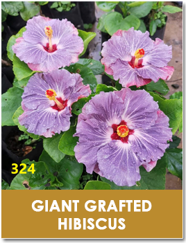 Giant Grafted Hibiscus