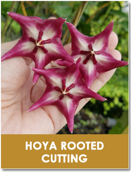 Hoya Rooted Cutting
