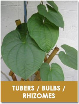 Tubers / Bulbs / Rhizomes