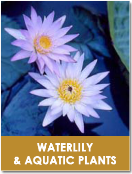 Waterlily & Aquatic plants