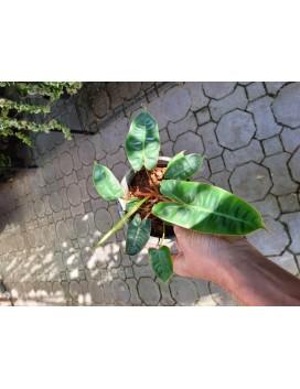Philodendron billietiae (Small)