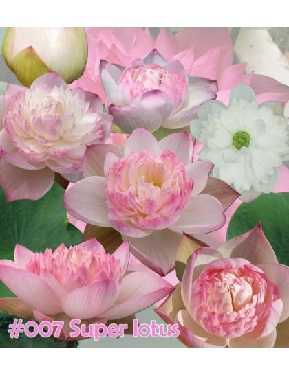 Super lotus