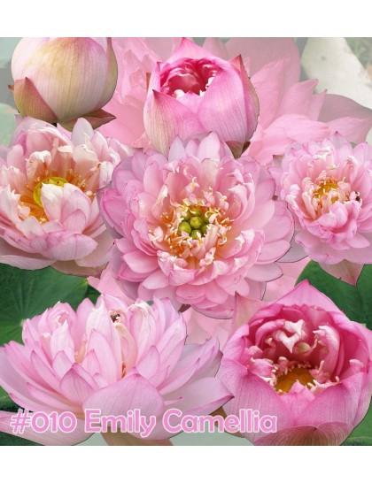 Nelumbo nucifera Emily camellia