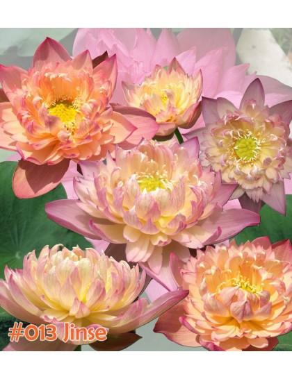 Jinse ( colorful pink)