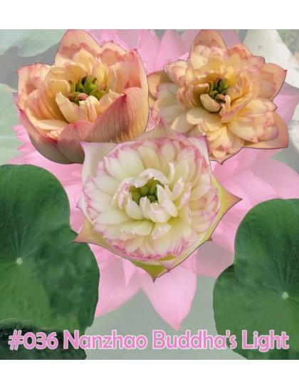 Nelumbo nucifera  Nanzhao buddha's light